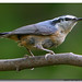 Finally a Nuthatch!