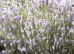 hyssopus(0.0), rosemary(0.0), lavandula stoechas(0.0), lavandula dentata(1.0), flower(1.0), english lavender(1.0), plant(1.0), breckland thyme(1.0), lavender(1.0), lavender(1.0), herb(1.0),
