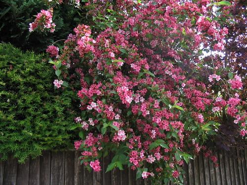 7 easy to care for flowering shrubs the garden lady