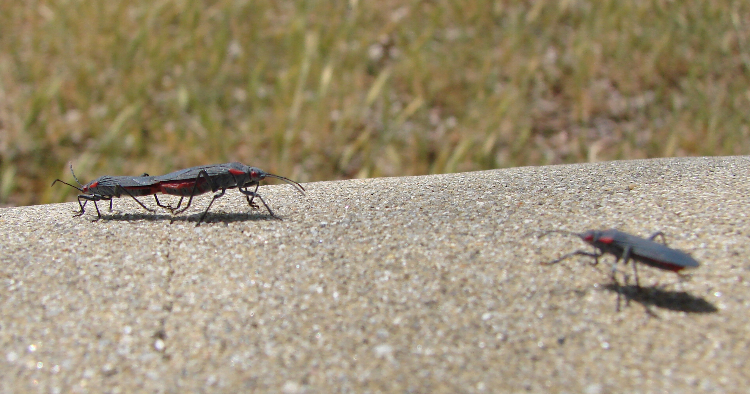 two bugs mating on concrete wall side view flickr photo sharing. Black Bedroom Furniture Sets. Home Design Ideas