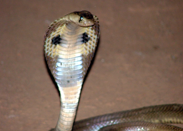 Small Indian cobra @ Parassinikkadavu snake park