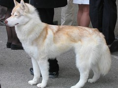 dog breed, animal, west siberian laika, dog, czechoslovakian wolfdog, white shepherd, tamaskan dog, greenland dog, wolfdog, native american indian dog, carnivoran,