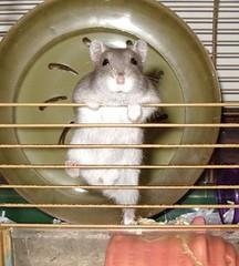 degu(0.0), animal(1.0), rat(1.0), rodent(1.0), pet(1.0), hamster(1.0), chinchilla(1.0),