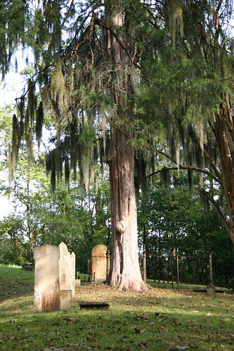 Spanish Moss at Grand Gulf Cemetery, Mississippi