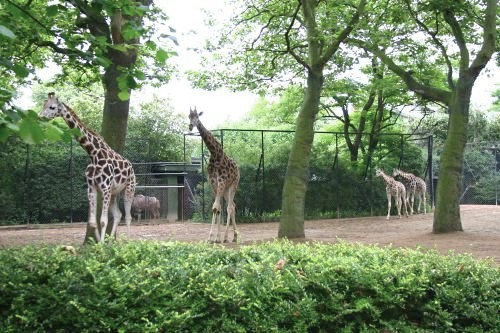 German Giraffes