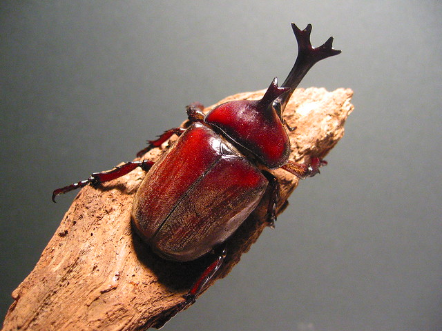 Single horn beetle