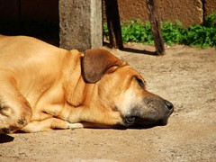 puppy(0.0), dog breed(1.0), animal(1.0), broholmer(1.0), dog(1.0), tosa(1.0), pet(1.0), street dog(1.0), mammal(1.0), black mouth cur(1.0), boerboel(1.0), rhodesian ridgeback(1.0),