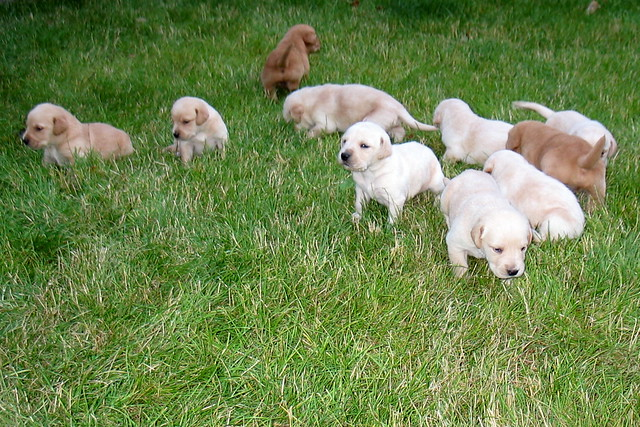 Cutest Puppies Golden Retriever 2 Weeks Old
