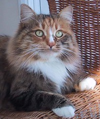 domestic long-haired cat, animal, maine coon, small to medium-sized cats, pet, fauna, siberian, cat, carnivoran, whiskers, norwegian forest cat,