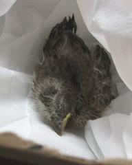 Baby Bird in the Make-Shift Nest...