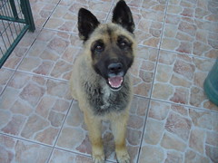 german shepherd dog(0.0), caucasian shepherd dog(0.0), wolfdog(0.0), dog breed(1.0), animal(1.0), dog(1.0), pet(1.0), norwegian elkhound(1.0), tervuren(1.0), belgian shepherd malinois(1.0), belgian shepherd(1.0), east-european shepherd(1.0), native american indian dog(1.0), shiloh shepherd dog(1.0), carnivoran(1.0),