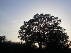 Oak tree silhouette at dusk