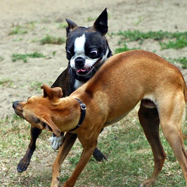 Boston Terrier & Chihuahua-mix at play | Flickr - Photo Sharing!