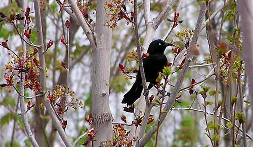 Blackbird in Grey Trees