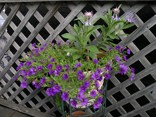 Centaurea montana and Million Bells