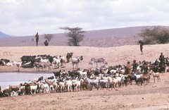 cattle-like mammal, steppe, plain, herd, goatherd, natural environment, herding, desert, landscape, cattle, savanna,
