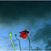 Poppies in the rain by soleá