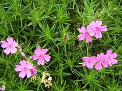 芝桜 / Moss Phlox