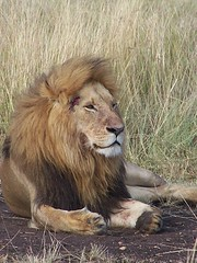 mane(0.0), animal(1.0), big cats(1.0), masai lion(1.0), lion(1.0), mammal(1.0), fauna(1.0), whiskers(1.0), savanna(1.0), safari(1.0), wildlife(1.0),