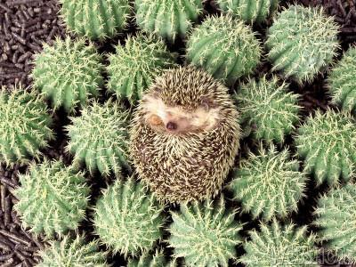Spiky Hedgehog