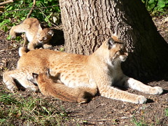 animal, zoo, small to medium-sized cats, mammal, fauna, puma, wild cat, wildlife,