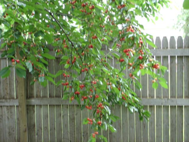 bing cherry tree flickr photo sharing