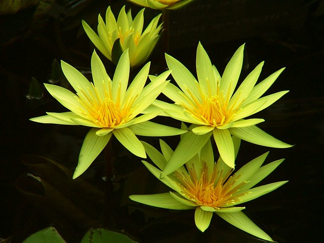 Yellow Waterlilies