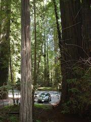 big trees small car