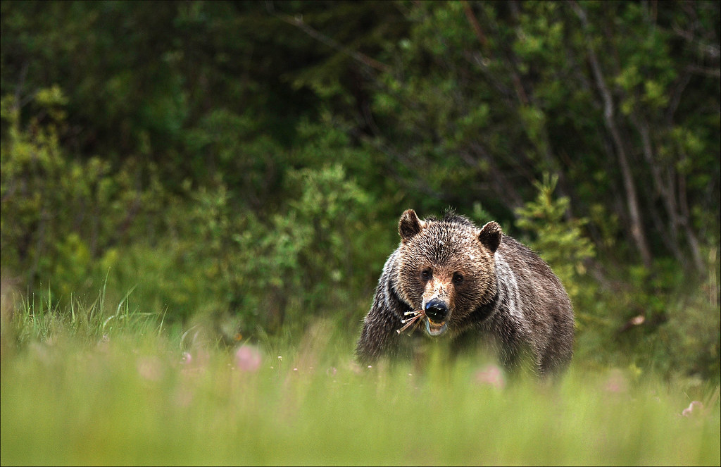 Mother Grizzly bear eating dandelions