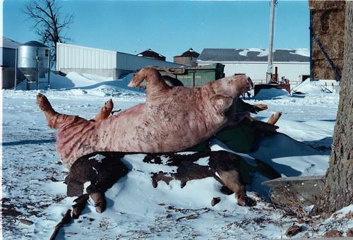 winter dead death deadanimals farm iowa pigs deadpigs