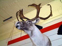 animal, antler, deer, trophy hunting, horn, reindeer,