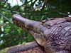 "<a href=""http://www.flickr.com/photos/pandiyan/30644003/"">Photo of Tomistoma schlegelii by Pandiyan V</a>"