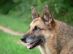 eurasier(0.0), dog breed(1.0), german shepherd dog(1.0), animal(1.0), west siberian laika(1.0), dog(1.0), czechoslovakian wolfdog(1.0), pet(1.0), old german shepherd dog(1.0), east siberian laika(1.0), norwegian elkhound(1.0), tamaskan dog(1.0), greenland dog(1.0), tervuren(1.0), belgian shepherd malinois(1.0), belgian shepherd(1.0), wolfdog(1.0), saarloos wolfdog(1.0), east-european shepherd(1.0), native american indian dog(1.0), jã¤mthund(1.0), shiloh shepherd dog(1.0), carnivoran(1.0),