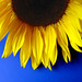 Sunflower on Blue by Just Jo