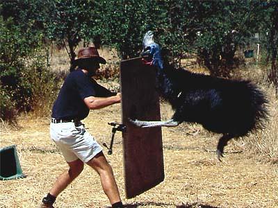 Cassowary attack victim - photo#20