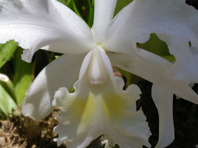 White Cattleya Orchid | Flickr - Photo Sharing!