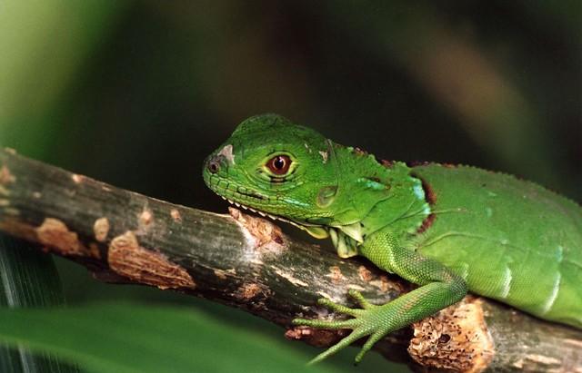 Baby Green Iguana | Flickr - Photo Sharing! - photo#27