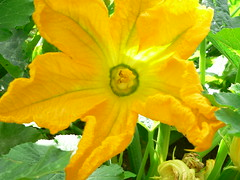 Courgette flower by florriebassingbourn