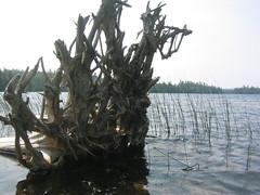 Knife Arm Lake Stump