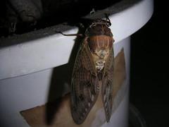 cicada emerges-11