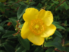 flower, yellow, wildflower, flora, hypericum,