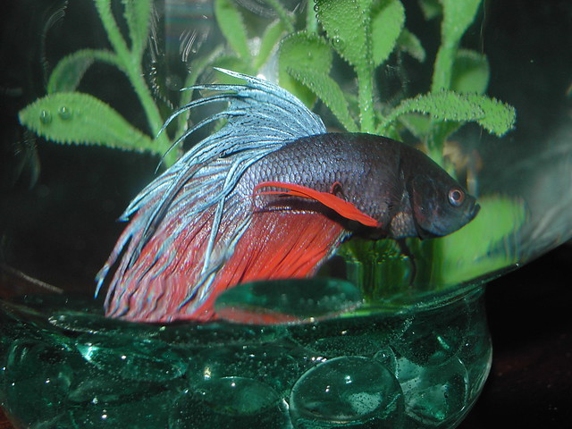 My beta fish art flickr photo sharing for What is a beta fish