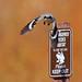 En Guard! Loggerhead Shrike by iwasfixin2