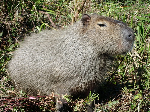 Capybara - world's biggest rodent (FACT!)