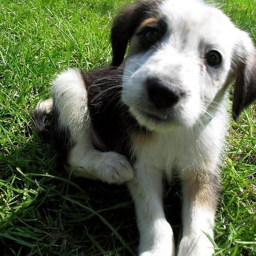 Adoptable Puppies / SpokanimalCARE