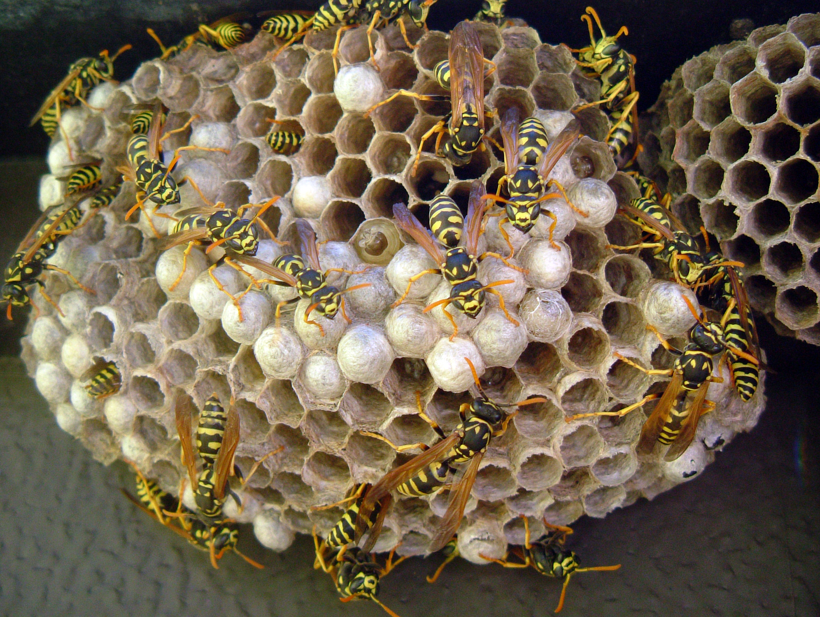 Wasp Nest | Flickr - Photo Sharing!