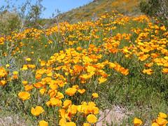 annual plant, prairie, eschscholzia californica, flower, field, plant, wildflower, flora, meadow,