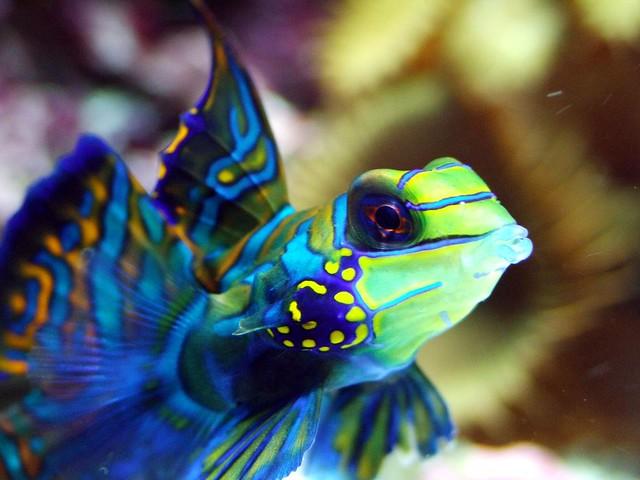 Blue Mandarin