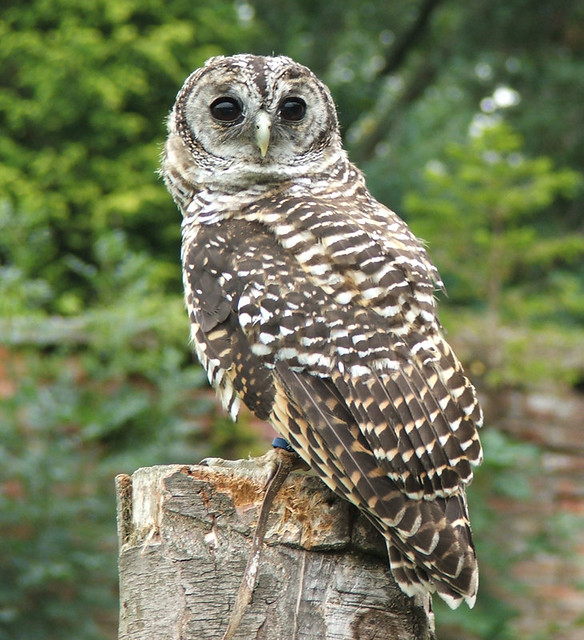 Rufous owl - photo#17