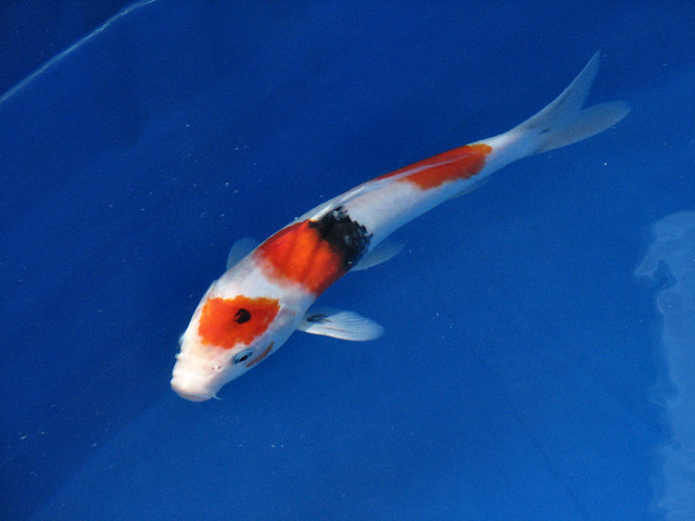 Baby koi flickr photo sharing for Baby coy fish